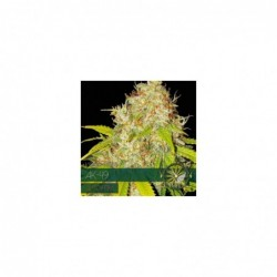 AK-49 10 AUTO  VISION SEEDS