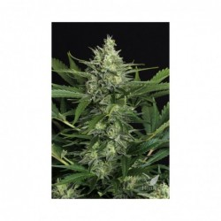 GREEN GUMMY AUTO 3 EXOTIC SEED