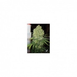PROZAC 3 100 MEDICAL SEEDS