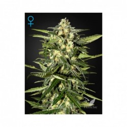 JACK HERER AUTO 3 GREEN HOUSE