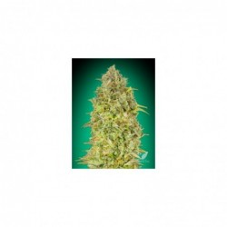 Skunk 47 1 100 advanced seeds