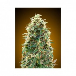 AUTO 00 CHEESE 5 100 00 SEEDS