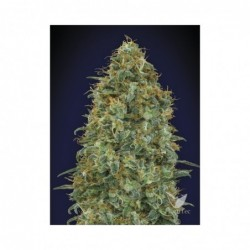 BLUEBERRY 5 100 00 SEEDS