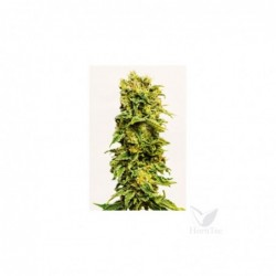 Sirup auto xxl 3 sheer seeds