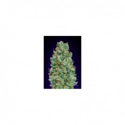 AUTO BLUEBERRY 5 100 00 SEEDS